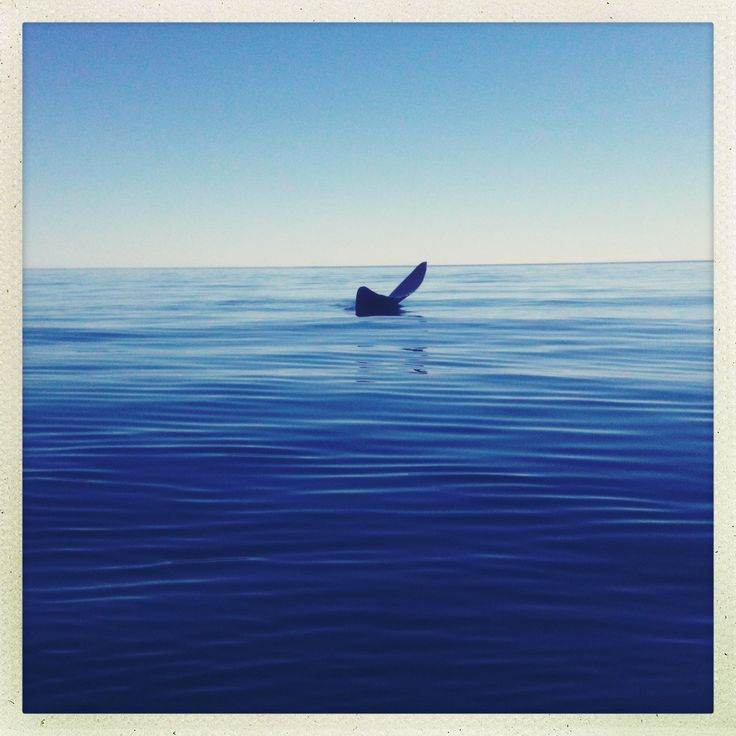 Whale tale off peninsula valdes, Argentina