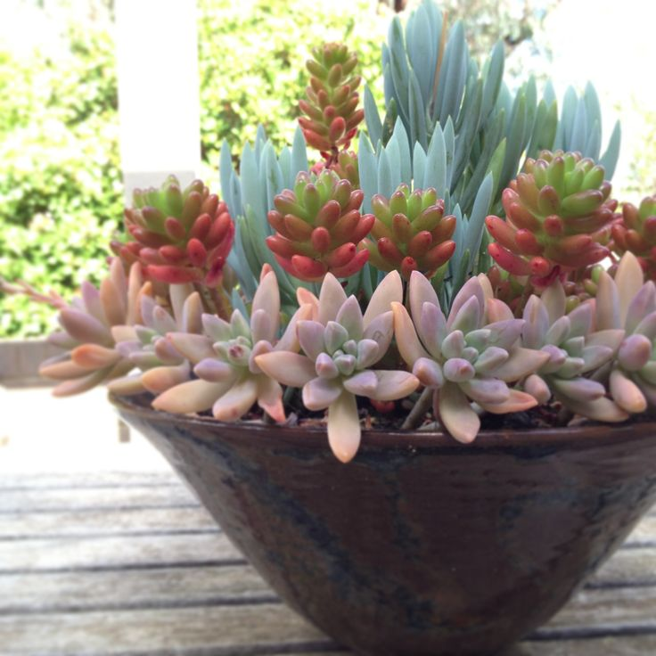 Beautiful combination of sedum, senecio, and graptopetalum.  https://shop.cacti.com/landscape-succulents/sedum-rubrotinctum/