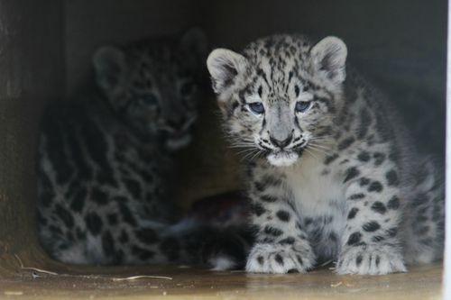 Helsinki Zoo's Snow Leopard cubs say 'hi!'