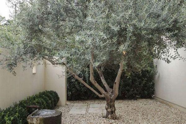 Olivo – Árbol Ornamental > La Mariposa | Teresa Moller