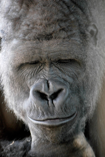 What a good looking fellow. This handsome silver back puts Hollywood's leading men to shame. See him smile?