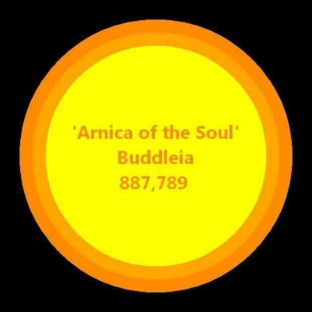 """887,789  Buddleia (""""Arnica of the Soul"""") Shock or trauma of any sort however far back – specifically head injuries and birth trauma (give at the beginning of labour), road traffic accidents. State of separation, autism, Down's syndrome, fear and anxiety. Continual anxiety living in a distressed state as it calms and soothes. Nightmares, panic attacks Stuck because of the anxiety. There is a big link with hospitals. Fear of dentists Issues around father- absence of father's energy or abuse…"""