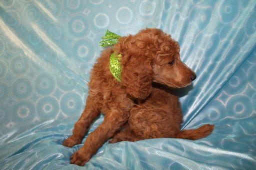 Litter of 2 Poodle (Standard) puppies for sale in SHERIDAN, CA. ADN-56780 on PuppyFinder.com Gender: Female. Age: 7 Weeks Old