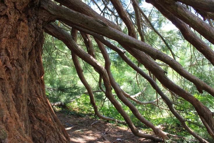 """Non tutti sanno che Pavullo nel Frignano, cittadina sull'appennino modenese, è ricca di sequoie secolari... i nostri Fratus e Olmi la ribattezzano non a caso, la """"California dei Colli Emiliani. In foto una delle sequoie del Parco Ducale."""