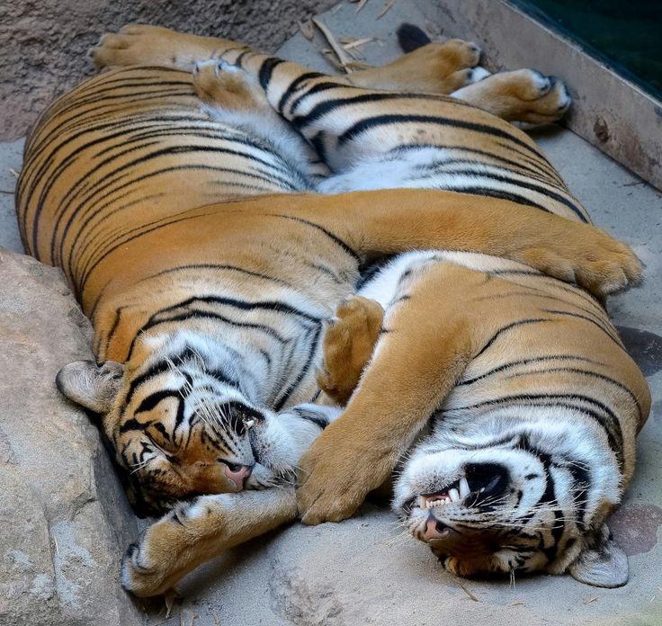 Картинки тигрица моя любимая