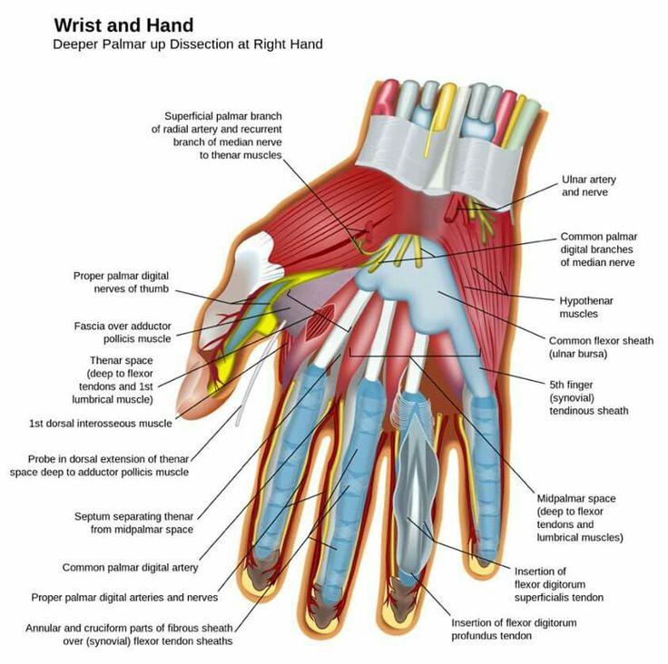 8 best Anatomy images on Pinterest | Anatomy, Human anatomy and Hand ...