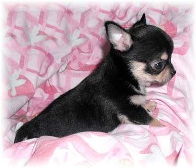 Chihuahua, SUPER mini!