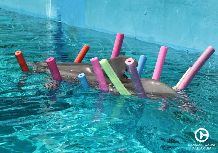 Winter the dolphin enjoying the beautiful Florida weather while floating on pool noodles! She is quite the character!
