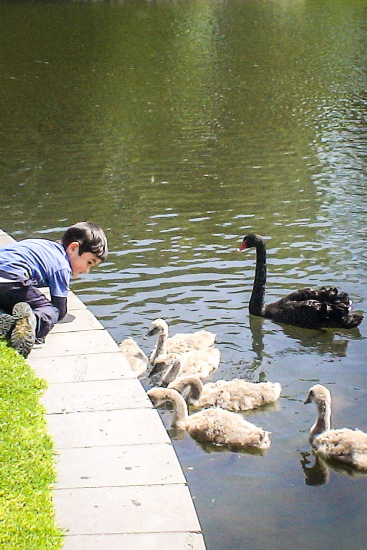 Did you know you can find black swans in central Melbourne at the botanical gardens?