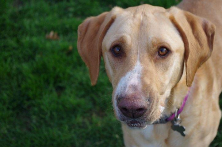 Golden Labrador dog for Adoption in Cedar Rapids, IA. ADN
