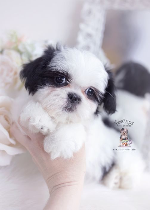 Shih Tzu Puppy 108 In 2020 Teacup Puppies Shih Tzu Puppy Teacup Puppies For Sale