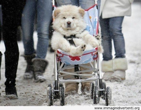 Accidenti ci si sente bene ad essere un Husky! immagini-divertenti.org