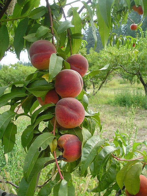 When you see peaches like this, there is a race on to see who will actually eat it ...if they are human or animal or insect.