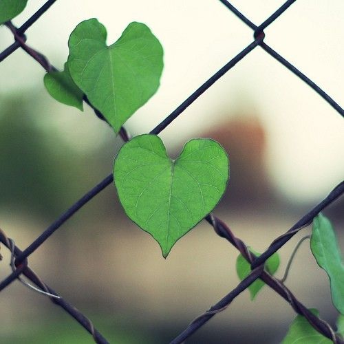 hearts in nature - morning glory vine