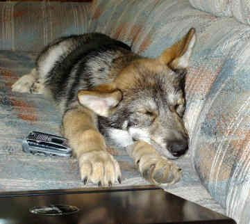 wolf dog hybrid photo | Pictures > Dogs > Primitive Wolf-hybrid Dogs > Wolf-hybrids