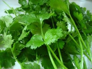 Tells how to harvest cilantro to extend plant production before bolting.
