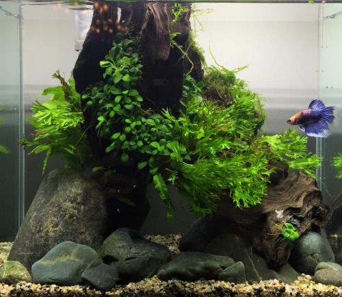 Favourites: Betta tank by Jowee Encina‎Nice little tank for a cool betta