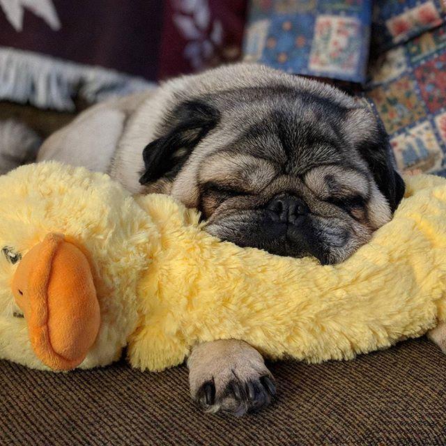 Just A Little More Sleep Pugs Puglife Pugsofinstagram