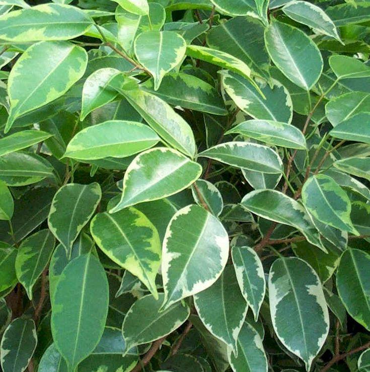 Ficus tree variegated ficus ficus - Ficus benjamina precio ...