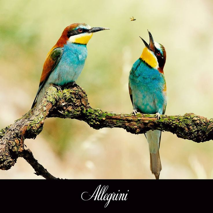 Nature's beauty in the Allegrini Vineyard.  Their color is amazing! Anyone know the species of these birds?