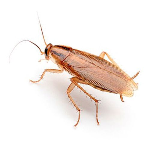The German cockroach is the most widely recognized type of cockroach. German cockroaches can breed at a rate of up to six generations every year. The German cockroach can fit through an opening as little as 3/8 of an inch in width. Notwithstanding being a nuisance, the German cockroach has been linked to disease and hypersensitive responses in numerous individuals. Therapeutic examinations have demonstrated that German cockroach allergens cause unfavorably susceptible respons