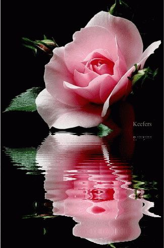 Pink rose with reflection.