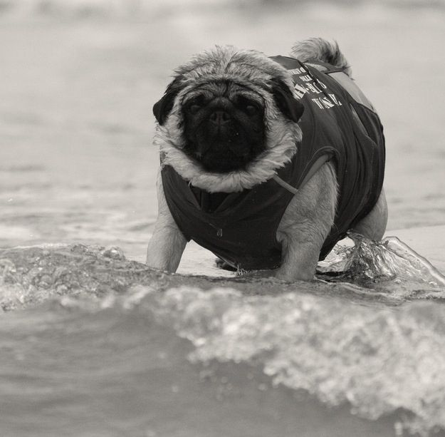 The First Pug Surf Championship of 1900. | 35 Most Adorable Moments In Pug History