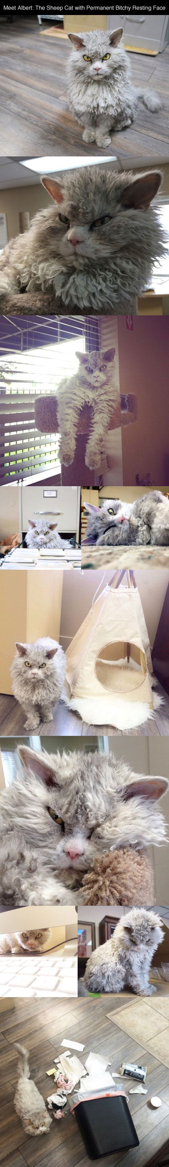 funny evil looking cat sheep - Imgur