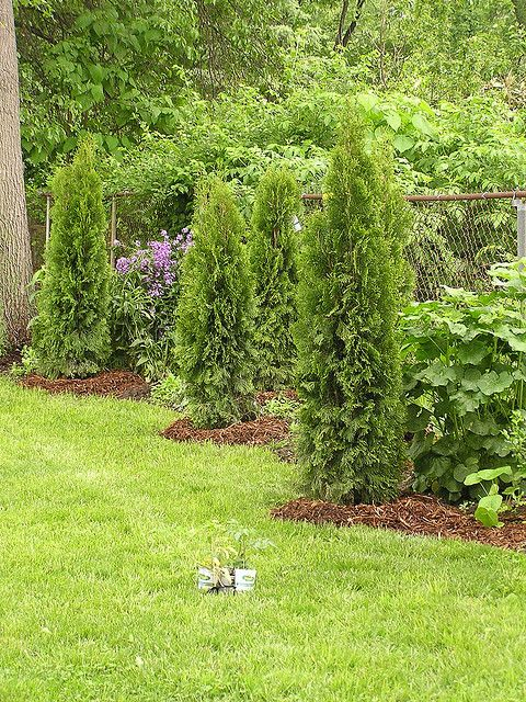 Evergreens We Planted To Hide Fence Backyard Fences