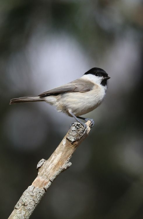 Willow tit/talltita.