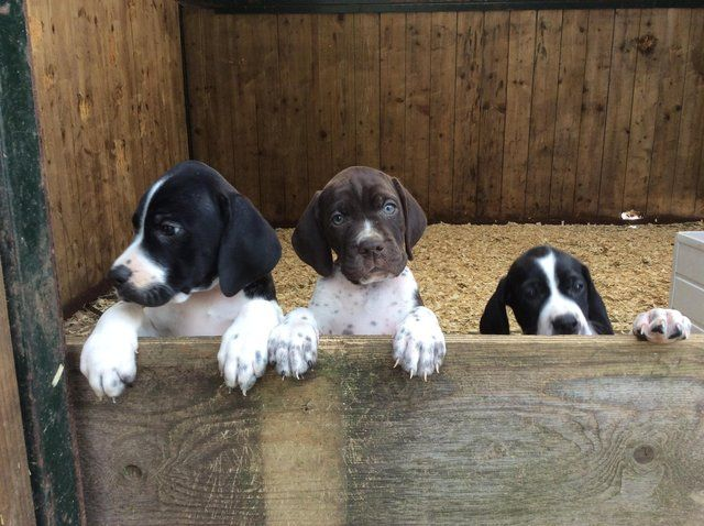 English Pointer Puppies For Sale In Launceston Cornwall