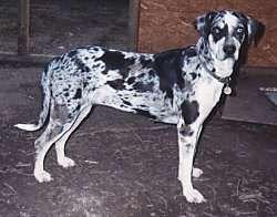 Louisiana Catahoula Leopard Dog (Catahoula Leopard Dog)
