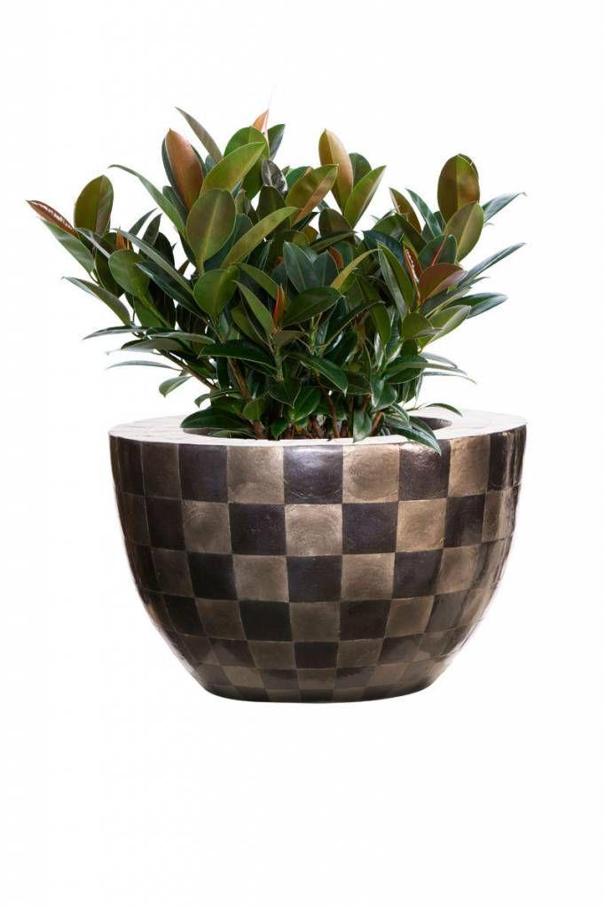Planters for life Bowl Capiz Pattern - Ficus Elastica
