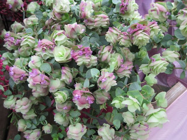 Oregano U0027Kent Beautyu0027 (Origanum Rotundifolium) Is An Ornamental Oregano  Plant With Pretty Pink Bracts That Look Somewhat Like Hop (Humulus) And  Heart Shaped ...