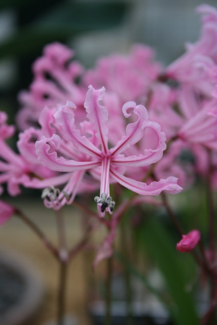 Miniature Nerine Lily at RHS Wisley