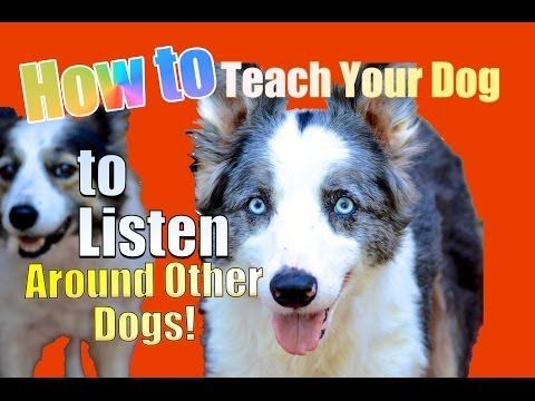 ▶ How to Teach your Dog to Listen TO YOU Around other Dogs! - YouTube