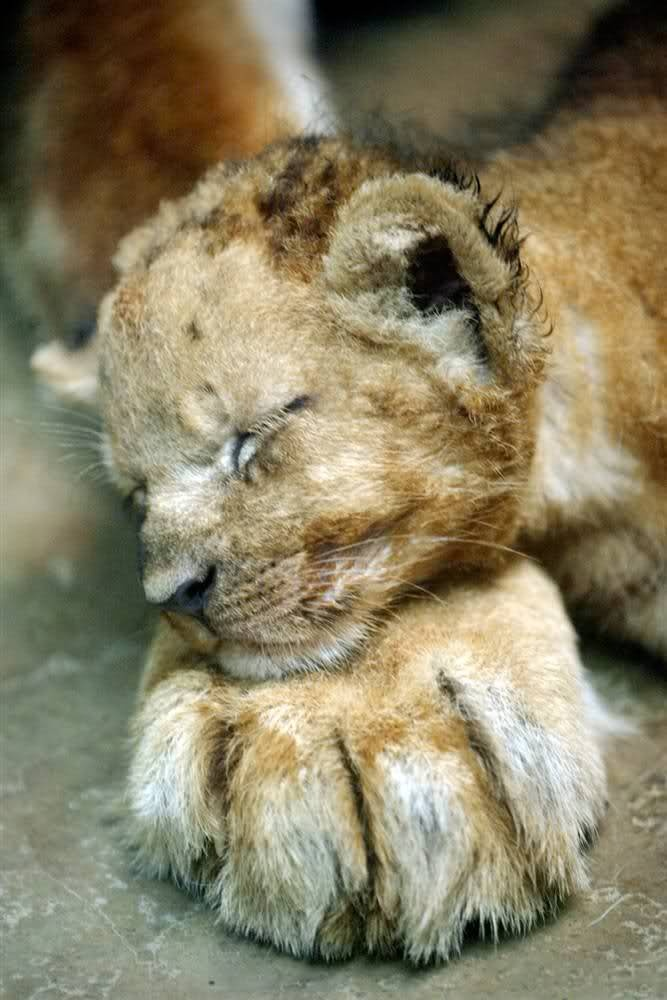 Mello, a 1-month-old lion cub, lays his head on the paw of his mother, Veni, at Prigen Safari Park in Pasuruan, East Java, Indonesia