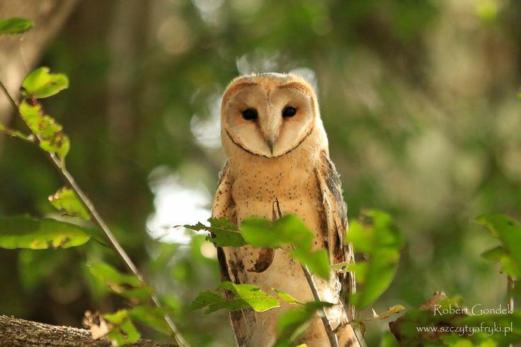 Płomykówka (Barn owl) - Etiopia || www.szczytyafryki.pl || #Etiopia #Ptaki #Afryka #Africanbirds