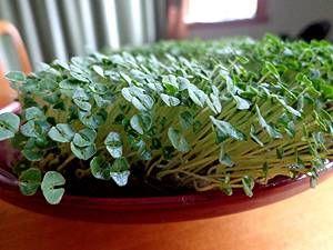 Chia Pflanzen anbauen Tipps selber machen