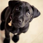 :) Boxer Lab mix puppy