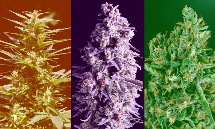 Sativa, Indica, and Hybrid: What's the Difference Between Cannabis Types? - Leafly  #MyLeaf