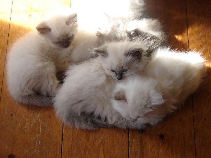 chatons sibériens classiques et Neva Masquerade - Siberian cats / Neva Masquerade cats