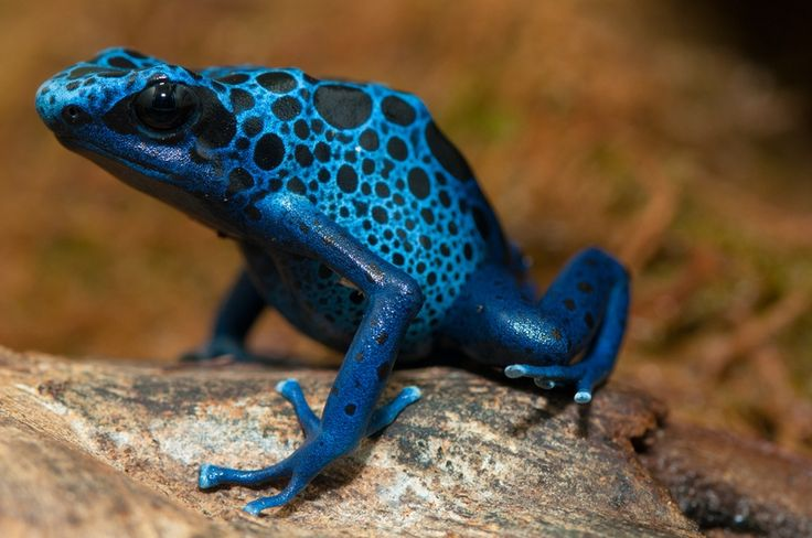 The blue poison dart frog is found in southern Suriname and northern to central Brazil. Though all the members of this species are a brilliant blue color, the black spots are unique to each individual. Like most other poison frog species, they lose their toxicity in captivity as a result of an altered diet. Because this species is so easy to keep in captivity, it is popular as a pet.