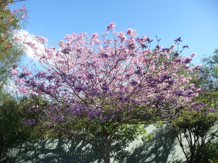 Tabebuia Palmerii...... Pink Trumpet Tree,A Beautiful Feature Tree Flowers in Spring