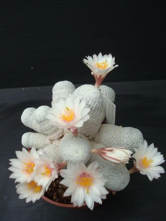 Mammillaria herrerae ssp. albiflora Cactus flower