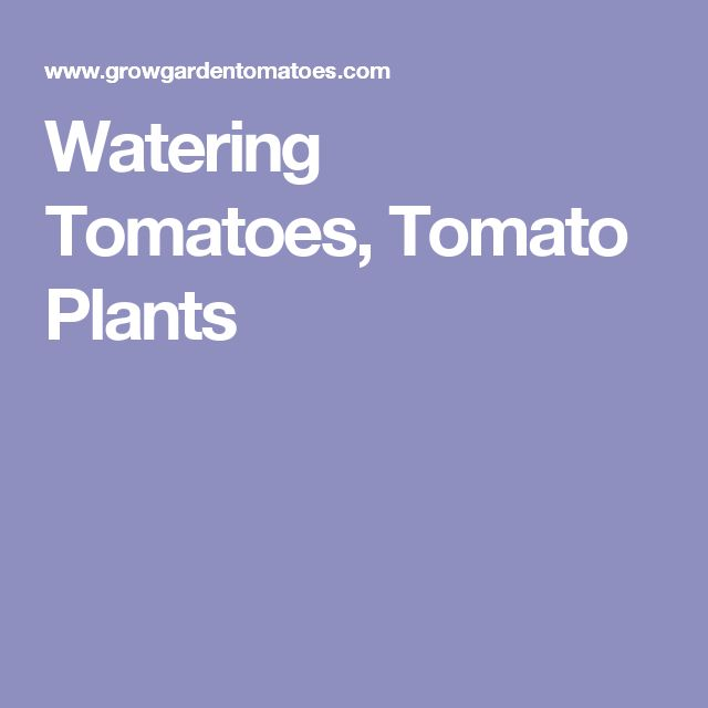 Watering Tomatoes, Tomato Plants