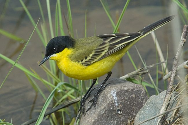Eastern Black-headed Yellow Wagtail - Bering Sea regions