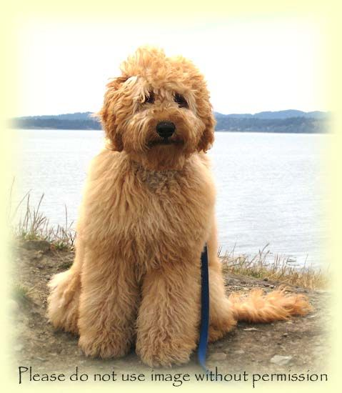 Beautiful Labradoodle Anime Adorable Dog - ded1d7a6d9b01aab6a82c536a2b297ca--mate-australian-labradoodle  Gallery_805242  .jpg