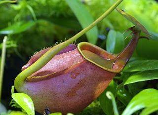Плотоядные растения: Непентес - Nepenthes bicalcarata