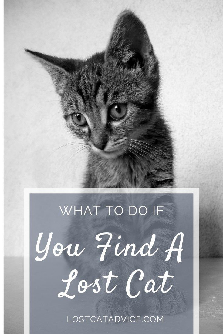What To Do If You Find A Lost Cat Lost Cat Advice Lost Cat Cats Cat Advice